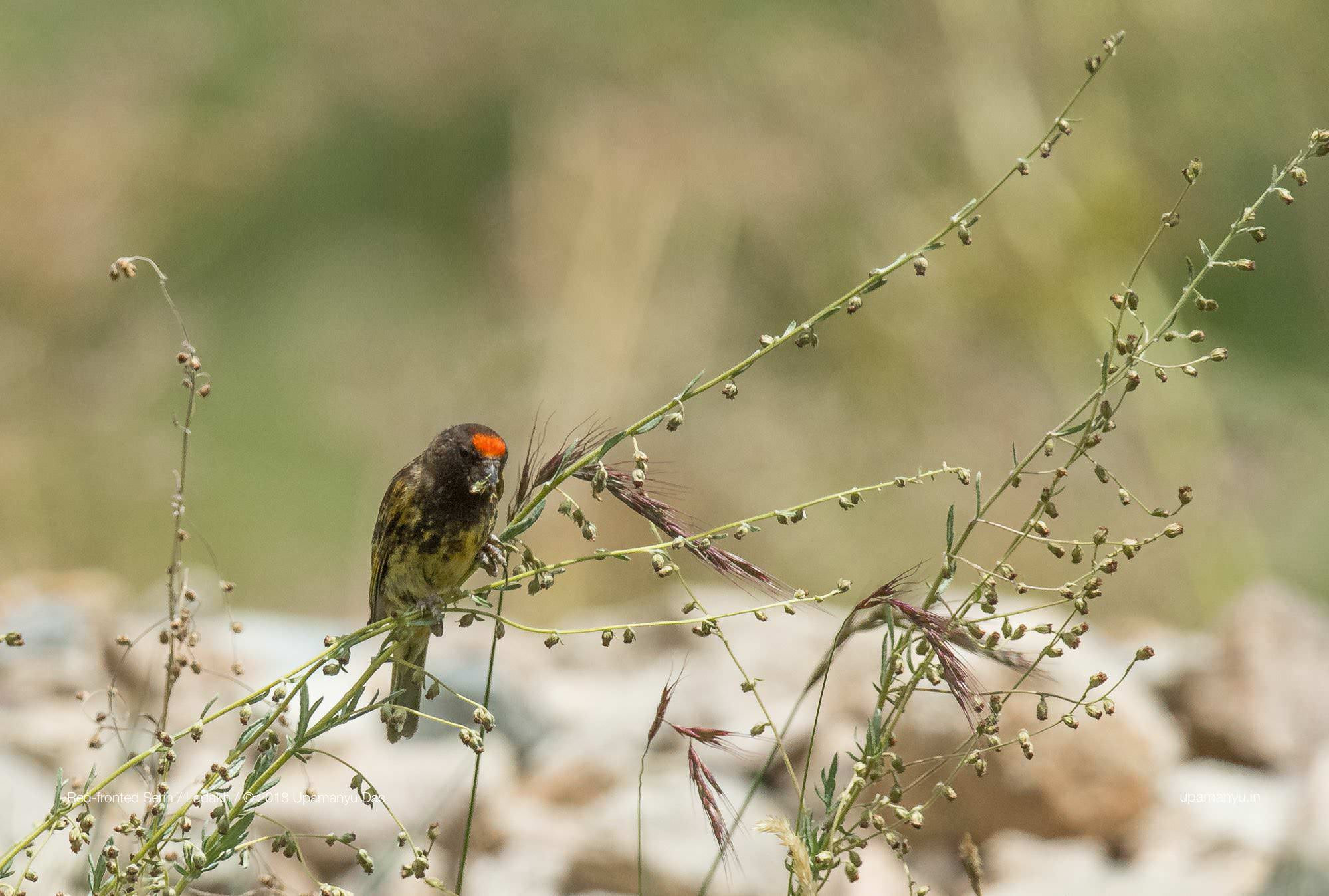 Red-fronted Serin (Ladakh)