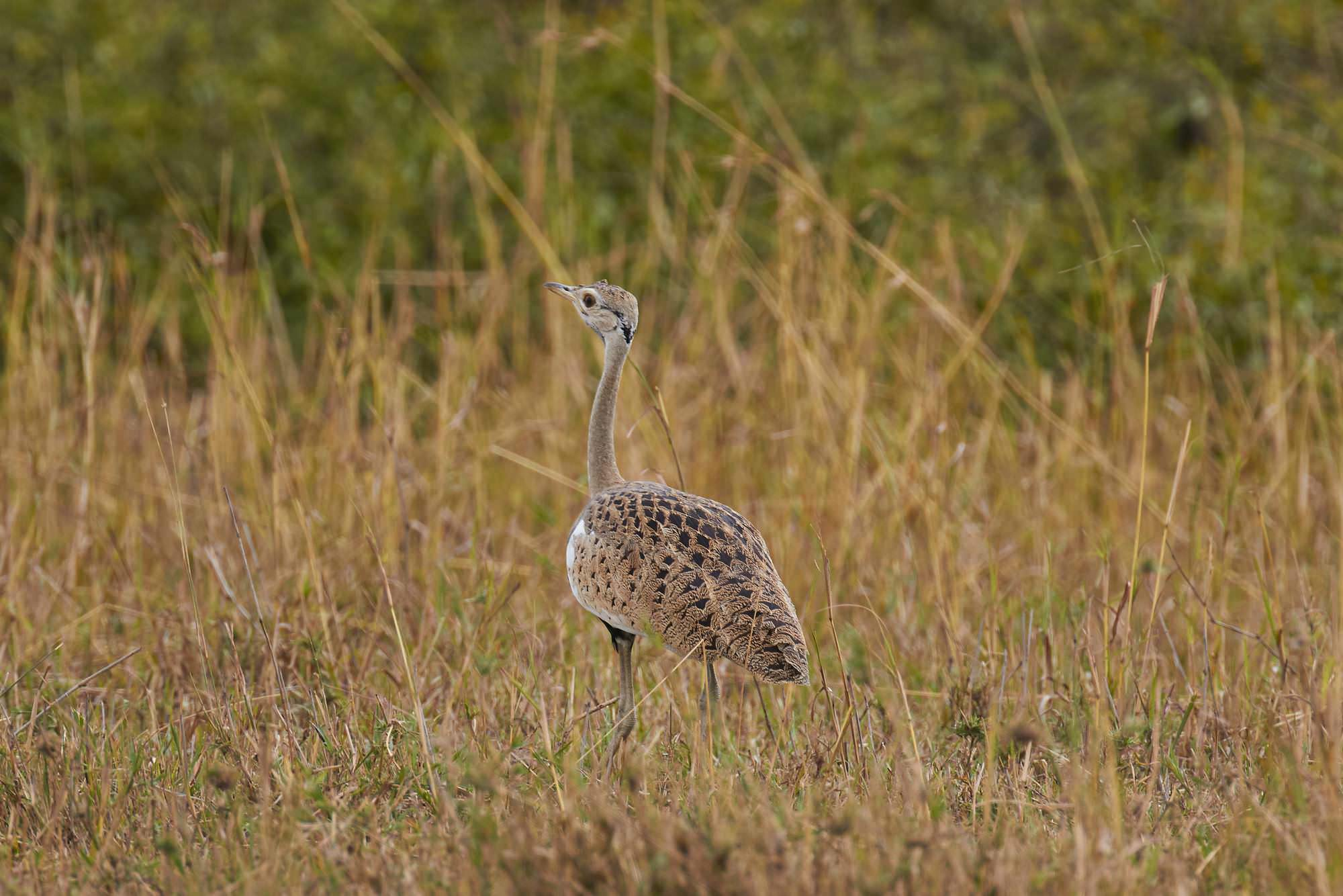 Black Bellied Bustard
