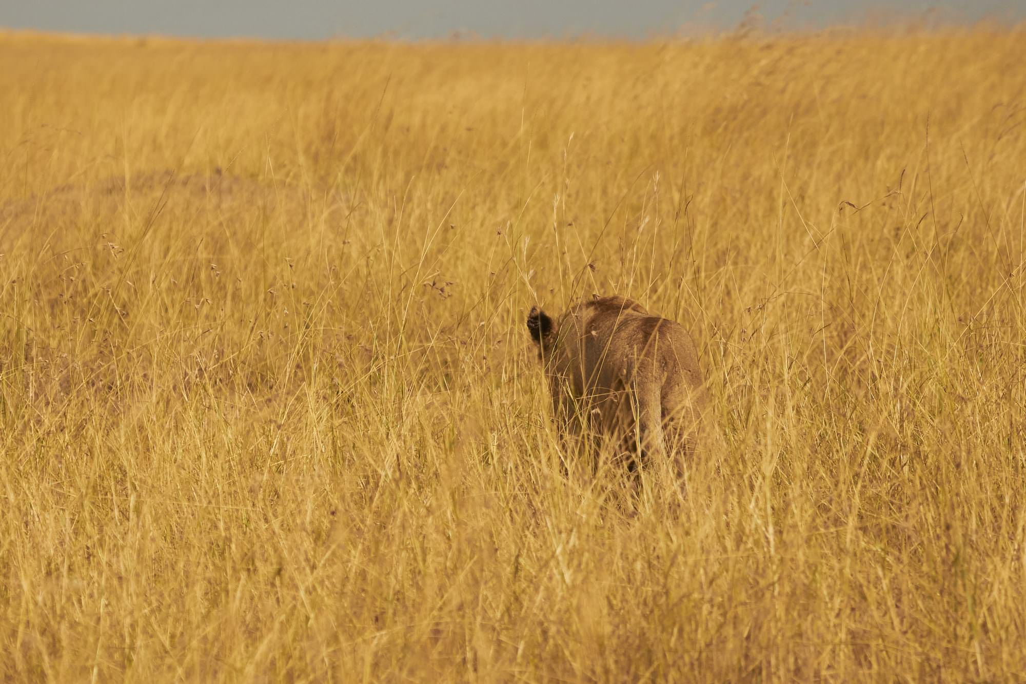 Lioness walking away into the Savannah