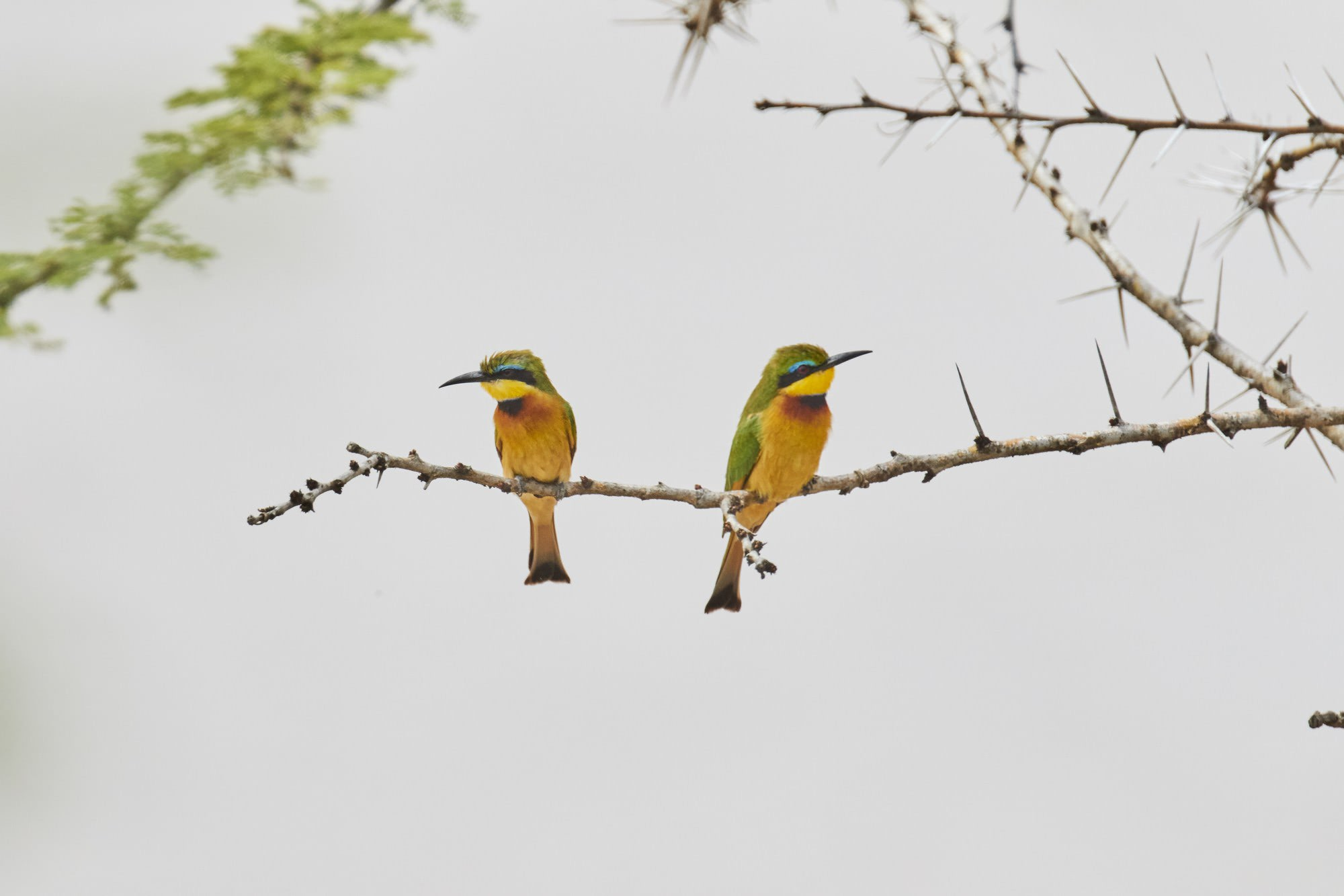 Green Bee Eater (Pair)
