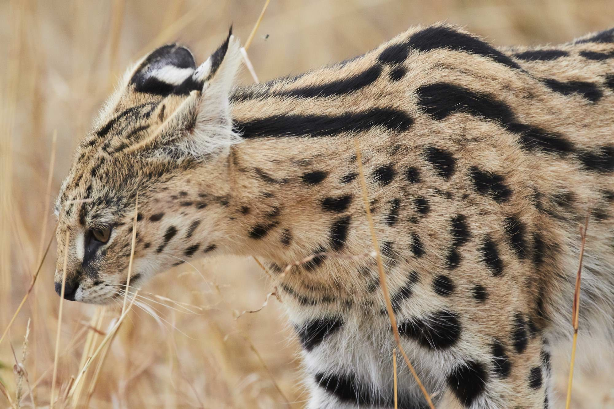 Serval Cat (Side Profile)