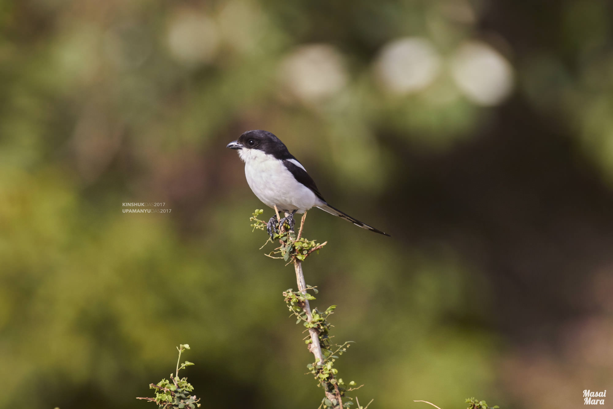 Common Fiscal-Shrike