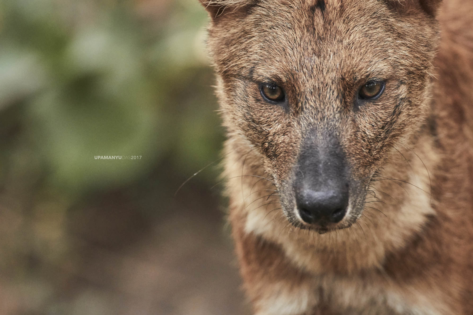 Dhol (Indian Wild Dog)