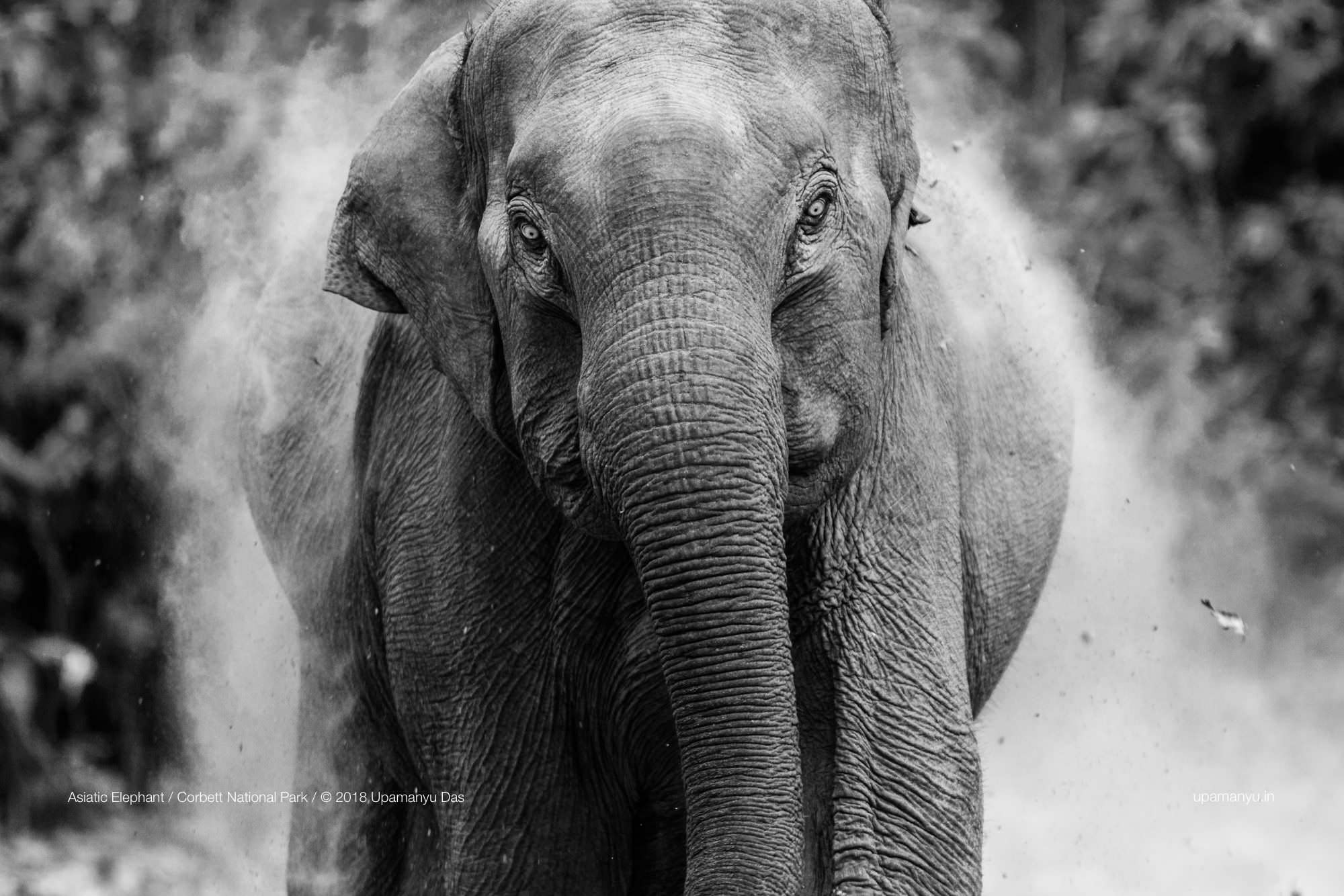 Asiatic Elephant (Corbett)