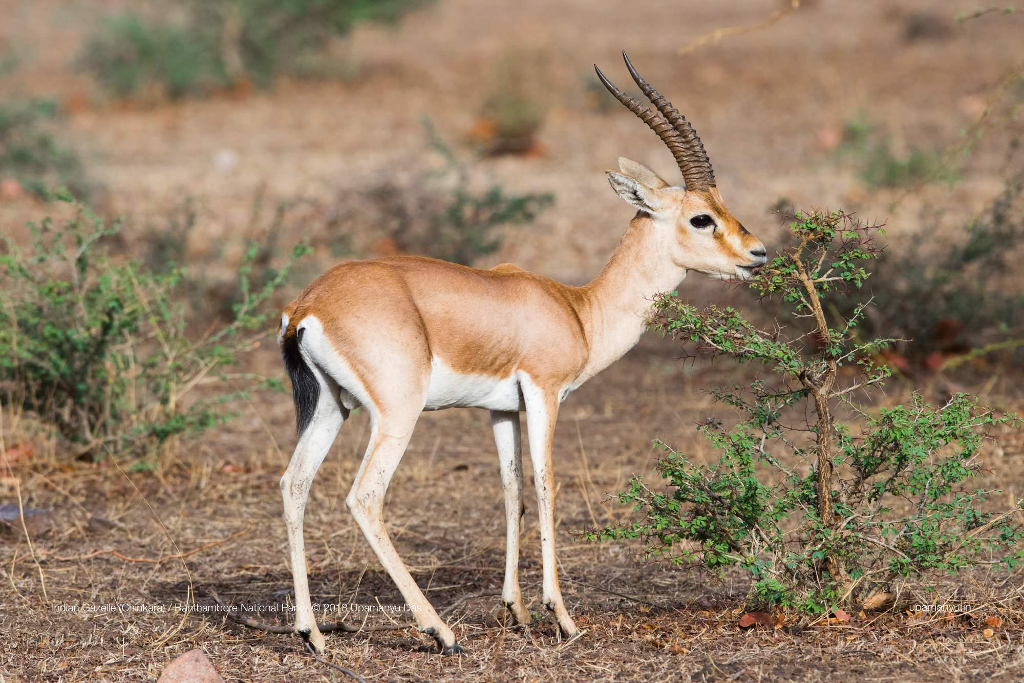 Indian Gazelle (Ranthambore)