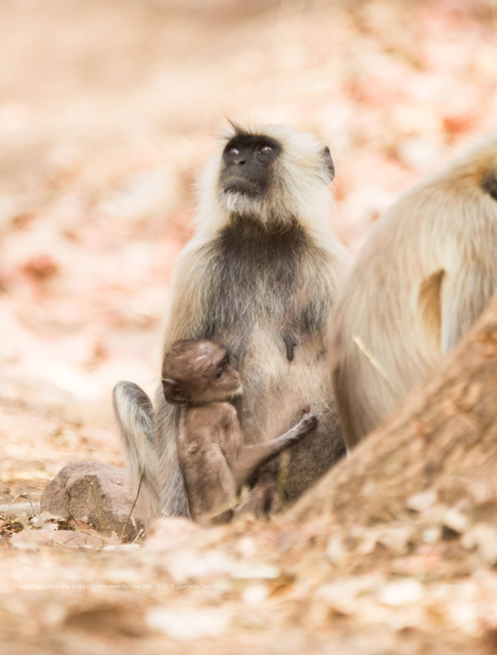 Common Langur (Ranthambore)