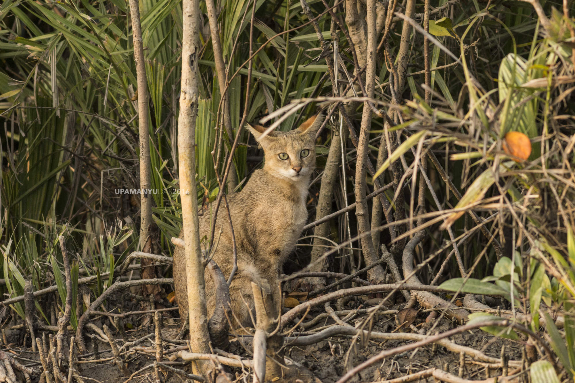 Jungle Cat (Sunderban)