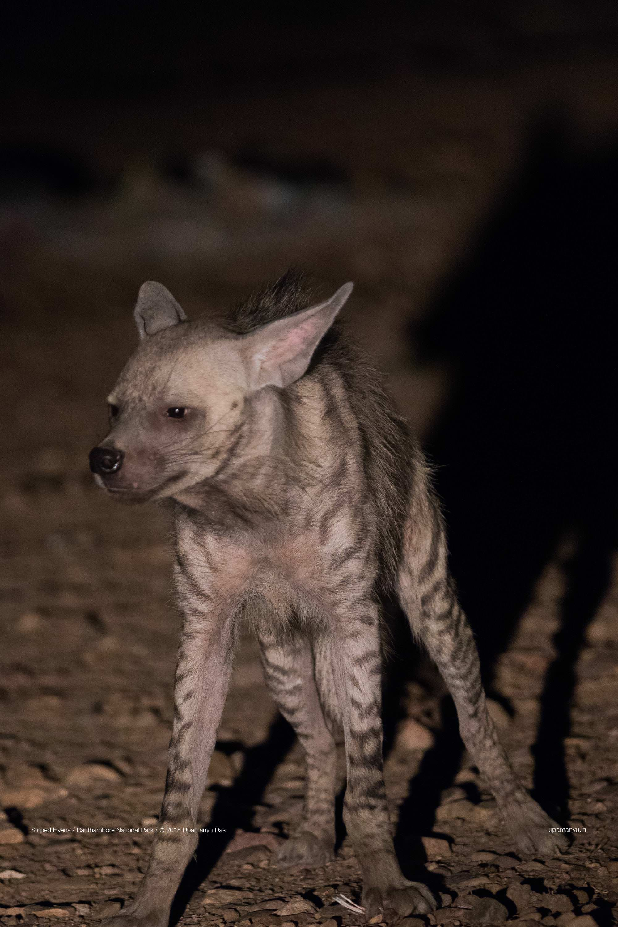 Striped Hyena (Ranthambore Outskirts)