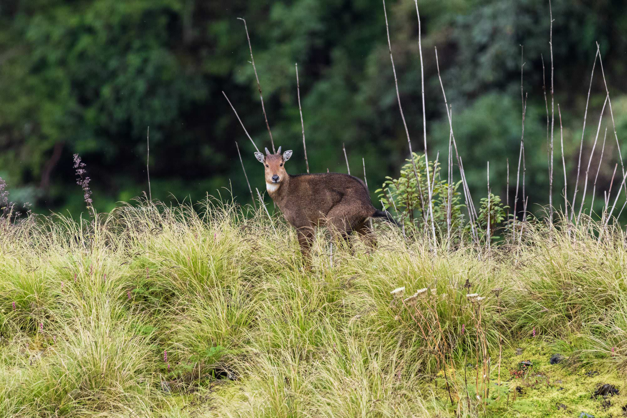 Mountain Goral (Pangolakha)