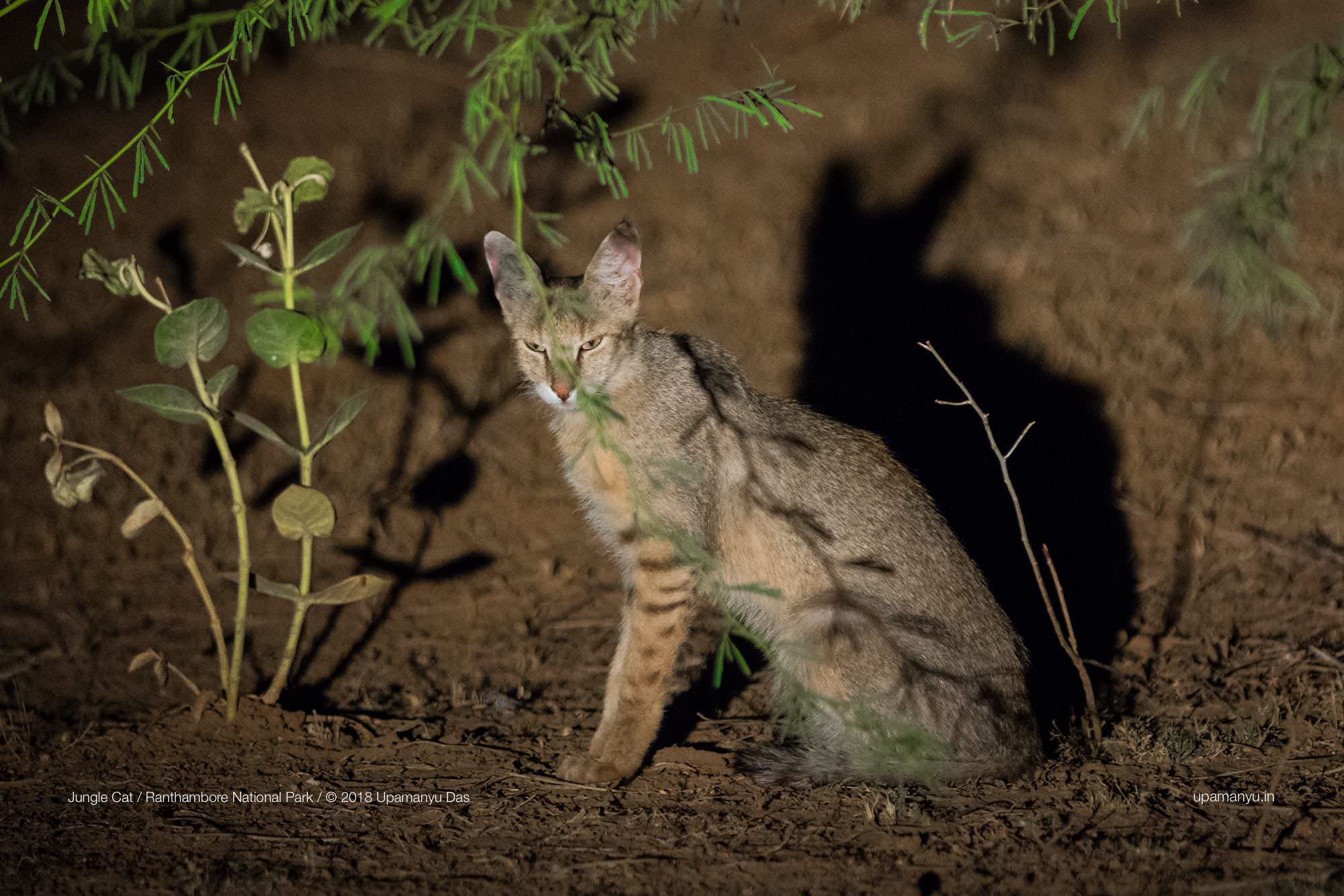 Jungle Cat (Ranthambore Outskirts)