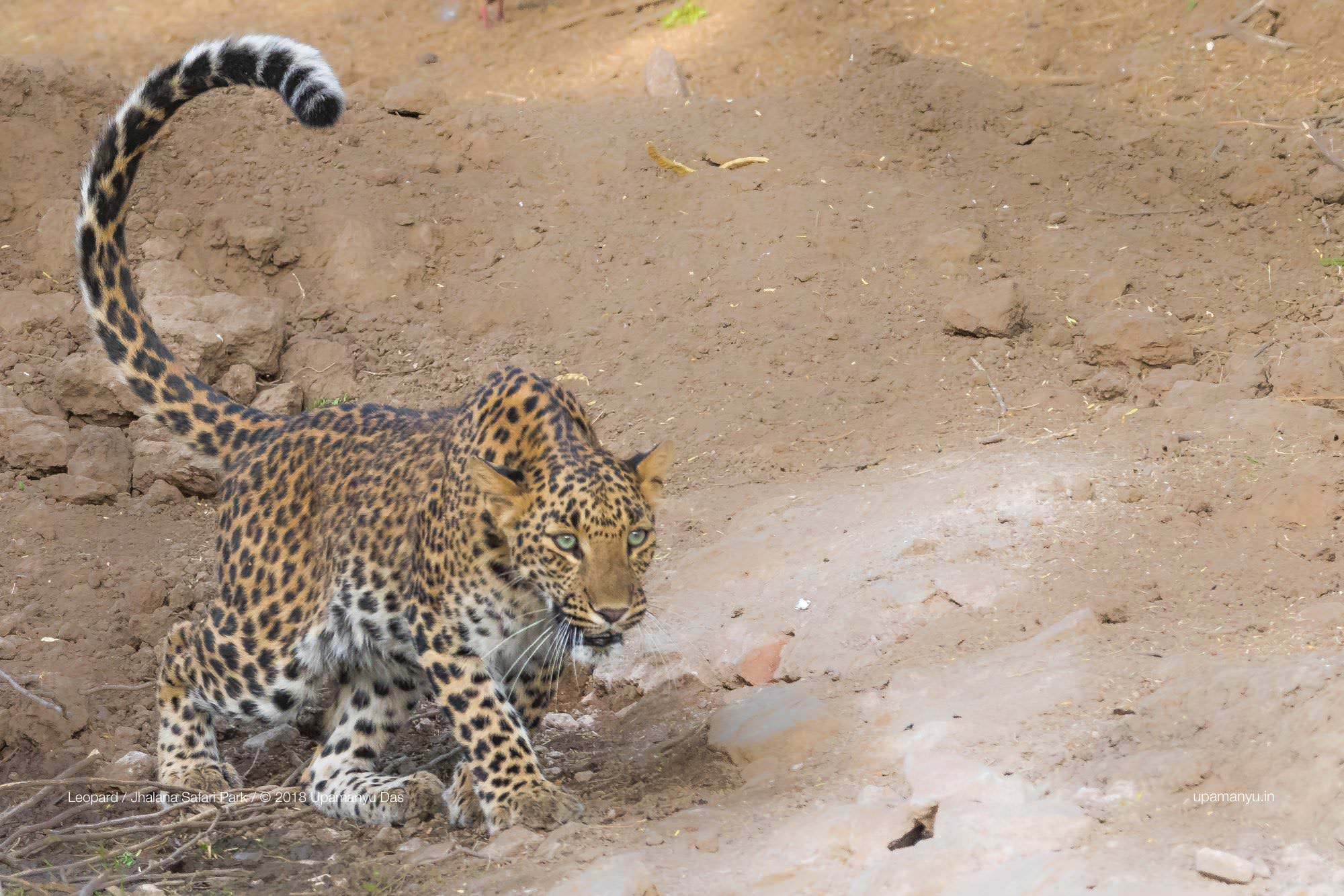 Indian Leopard (Jhalana)